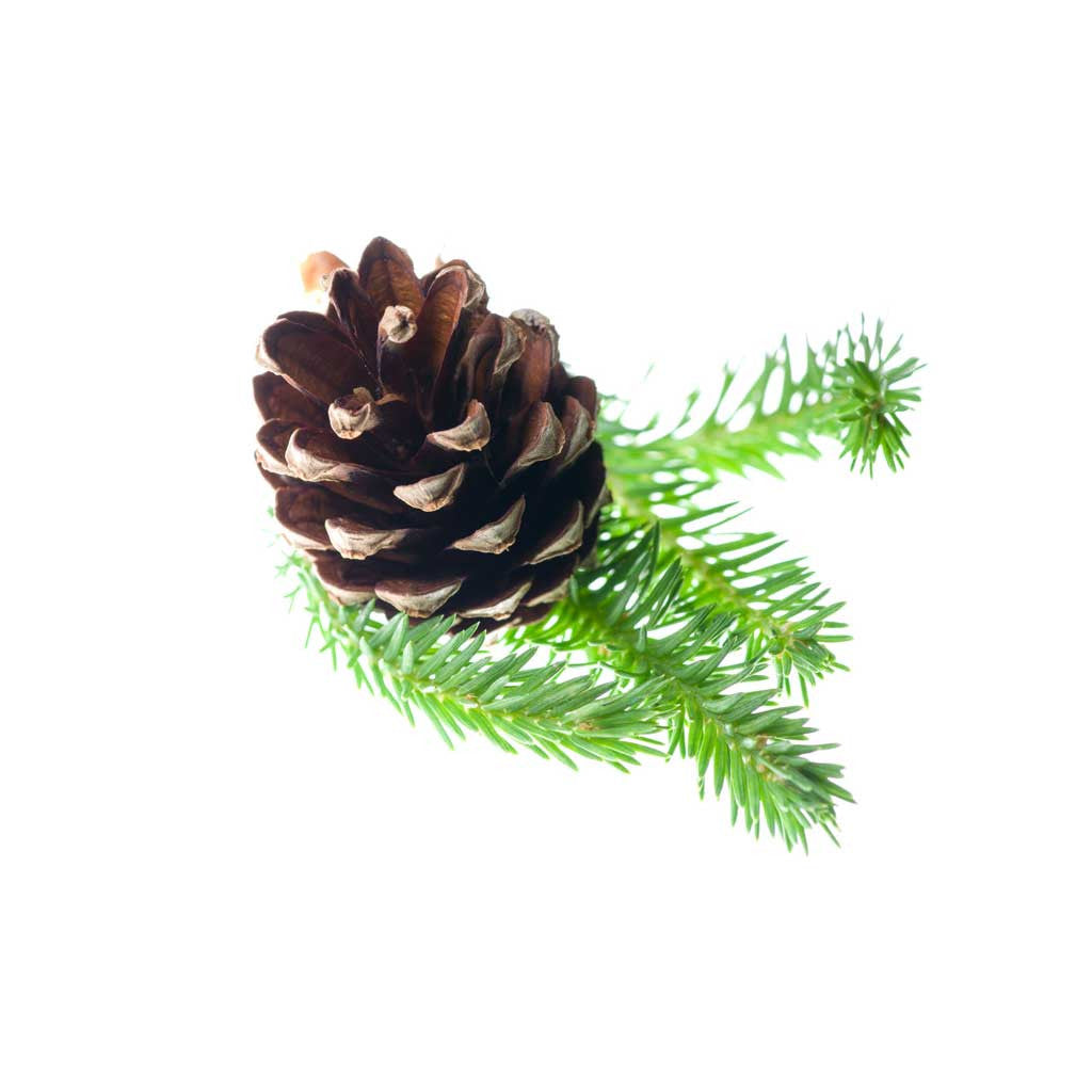 Scotch Pine Essential Oil 15ml