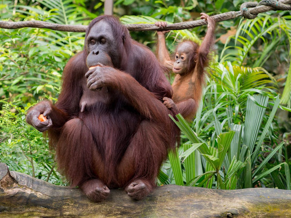 At What Cost? The Killing of Orangutans For Palm Oil