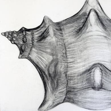 shell series, #2, framed charcoal drawing, realistic, representational art