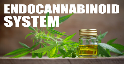 endocannabinoid system how it works article