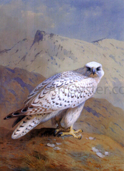 Archibald Thorburn A Greenland, or Gyr Falcon - Canvas Art Print