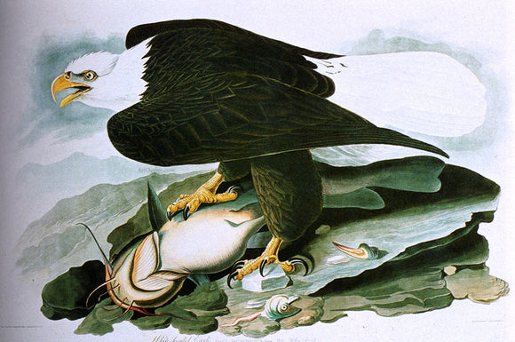 John James Audubon The Bald-Headed Eagle From Birds Of America - Canvas Art Print