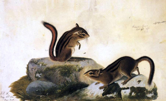John James Audubon Two Ground Squirrels - Canvas Art Print