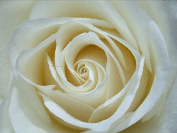 Our Original Collection White Rose Detail - Canvas Art Print