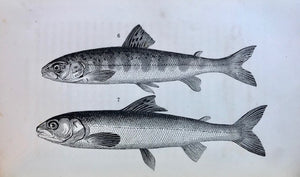 (Seafood) Norris, Thaddeus.  American Fish Culture, embracing all the details of Artificial Breeding and Rearing of Trout; the Culture of Salmon, Shad and Other Fishes.
