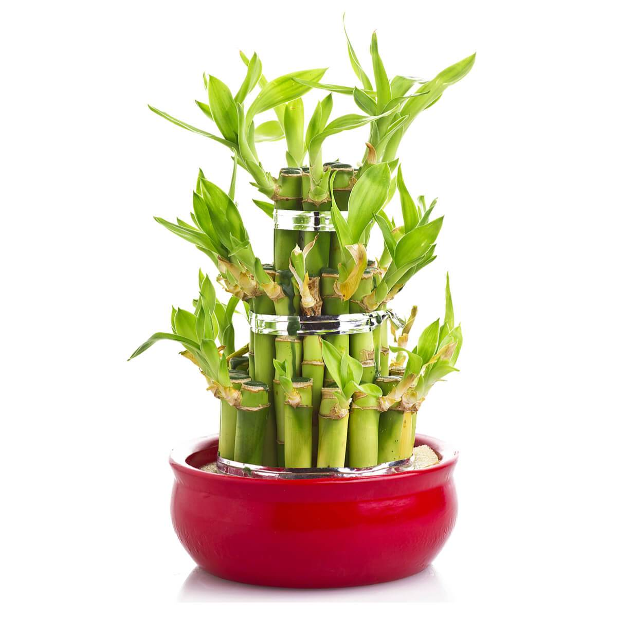 Plant Gifts Lucky Streak Bamboo Plant Heart Thorn Canada
