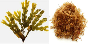 Rich Fixing Bladderwrack & Seamoss Capsules (100% plant-based_sea vegetables)