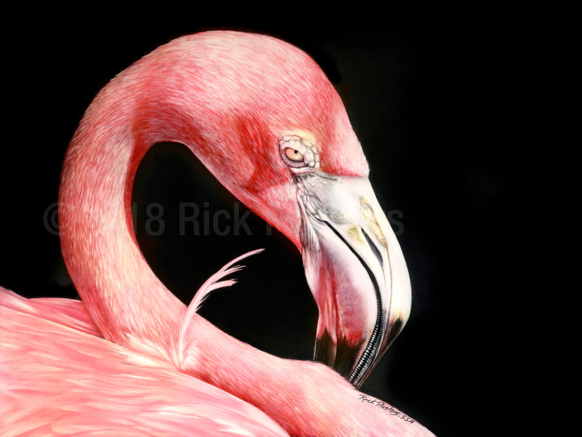 Pink Flamingo scratchboard drawing