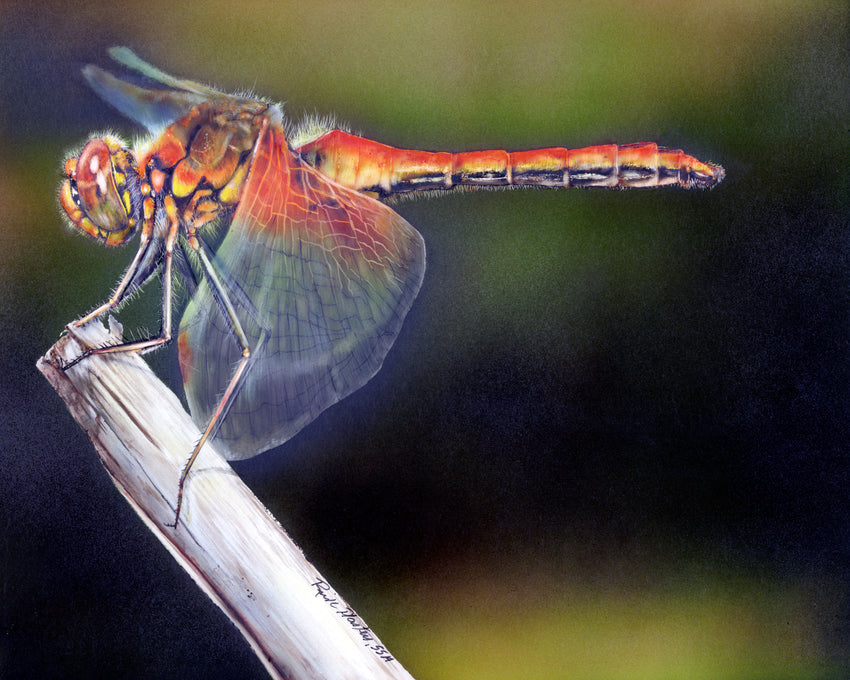 Clayboard drawing of a Dragonfly