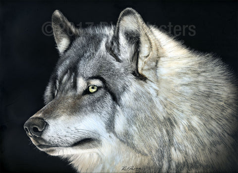 Grey Wolf scratchboard drawing