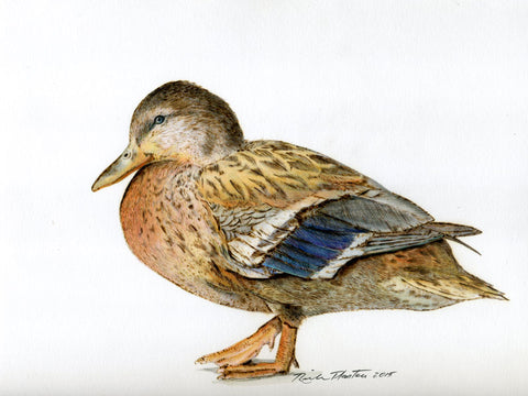 Female Mallard Duck pyrography wood burning drawing