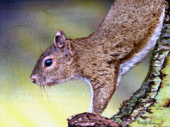 Grey Squirrel Bright Eyes