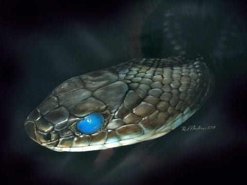Black Racer Snake drawing