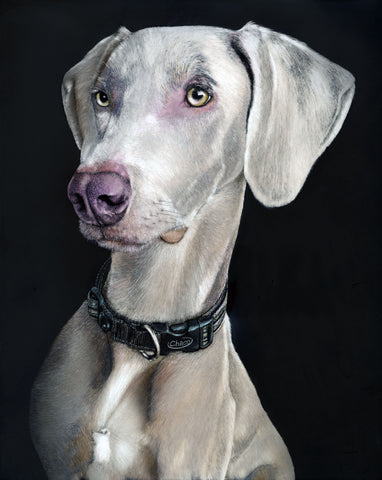 Weimaraner Dog scratchboard drawing