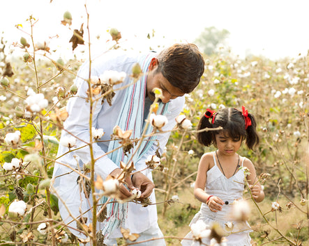 Farmer And Daughter Working Organic Cotton Fields in the Indian State Of Maharashtra