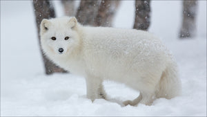 Fox White In The Snow Diamond Painting Kit - DIY