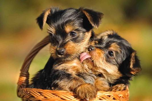 Yorkie Cute Love Diamond Painting Kit - DIY
