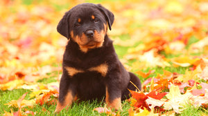 Rottweiler Puppy Lover Diamond Painting Kit - DIY