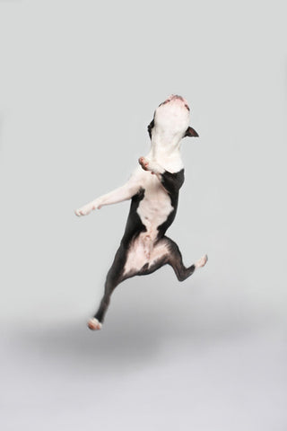 JOY! (jumping boston terrier)