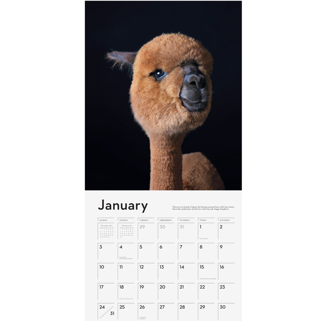 sample page of alpaca 2021 wall calendar with photograph of a brown alpaca on black background