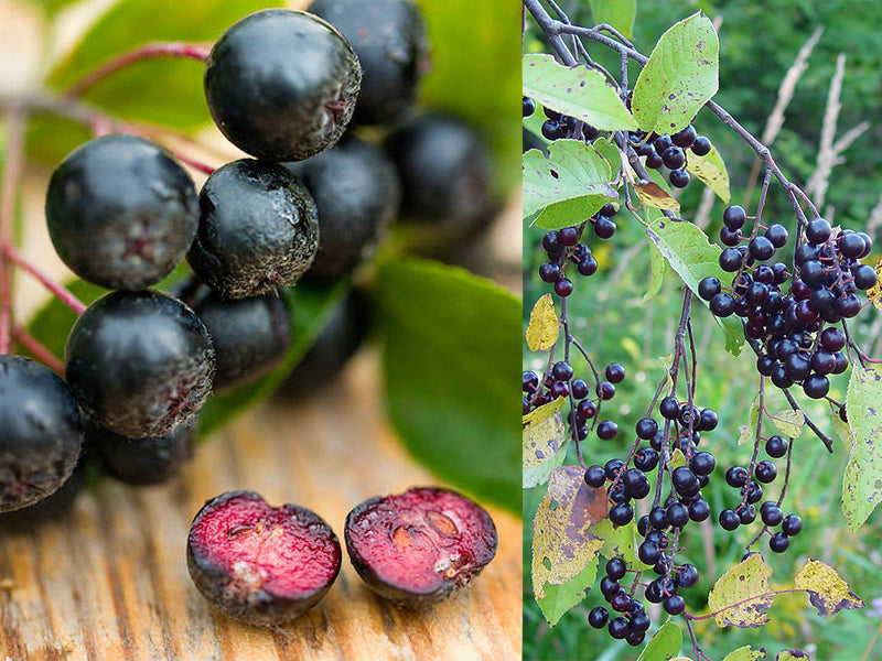 What is the difference between chokeberries (aronia) and chokecherries?