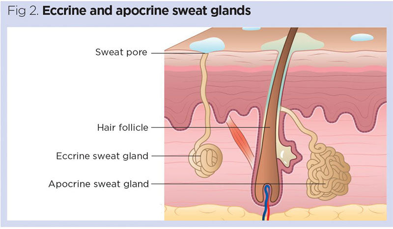 Eccrine and aprocrine sweat glands