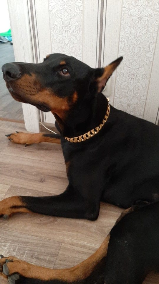 Cuban Thicc Gold Dog Collar