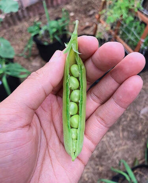 Amish Snap Pea