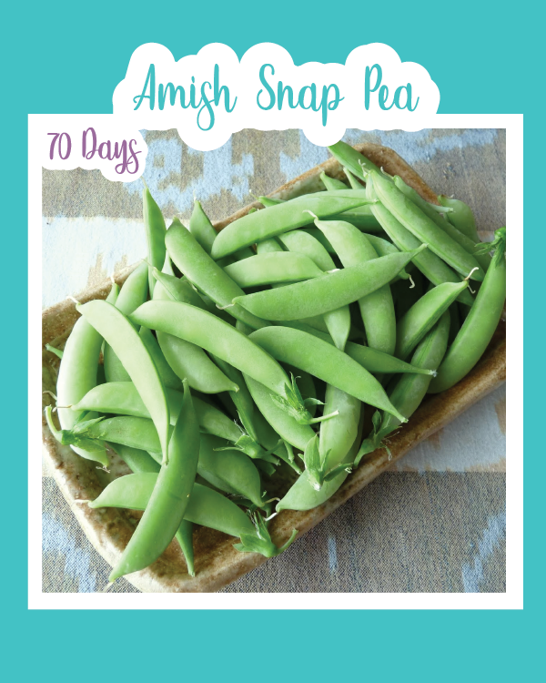 Amish Snap Sweet Pea Shoots