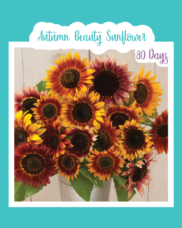 Autumn Beauty Sunflowers