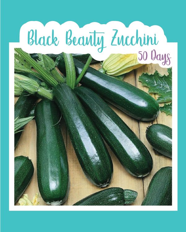 Black Beauty Zucchini (Summer Squash)