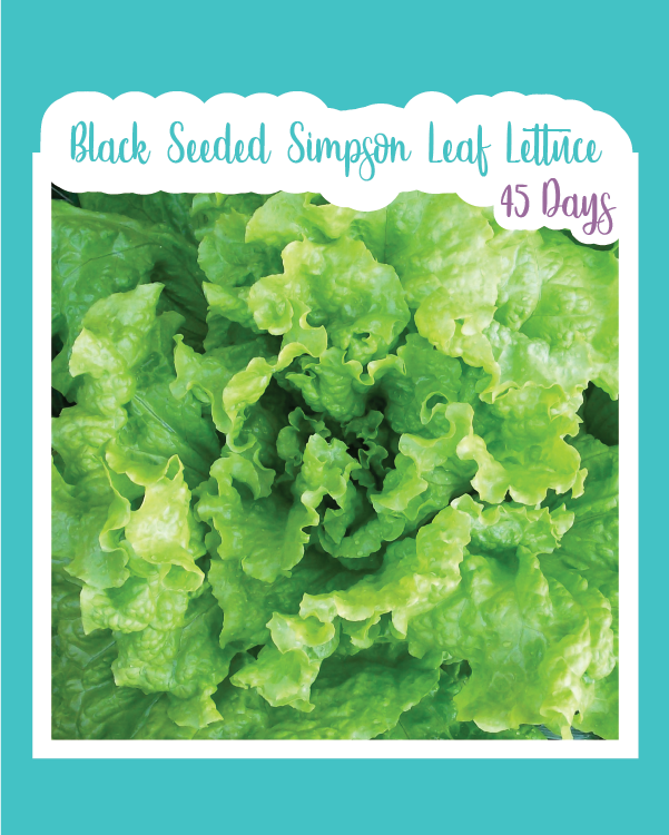 Black Seeded Simpson Leaf Lettuce Microgreens