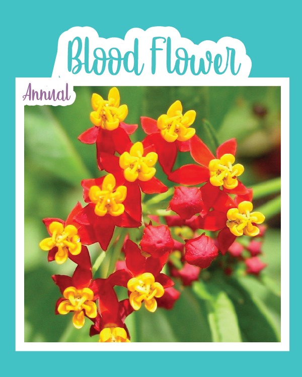 Blood Flower (Milkweed)