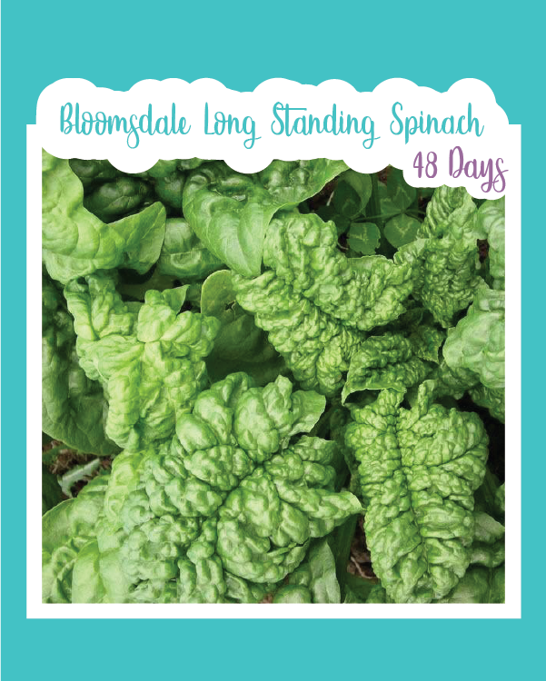 Bloomsdale Longstanding Spinach Microgreens