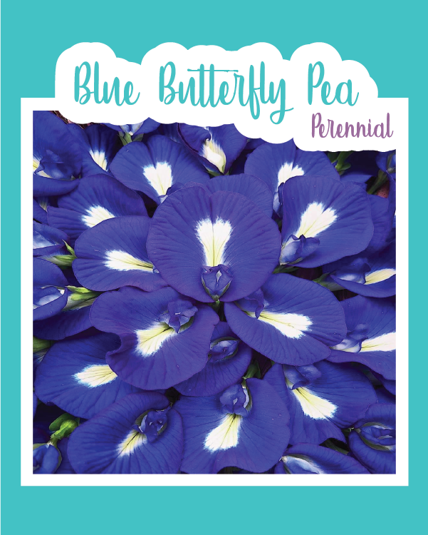 Blue Butterfly Pea