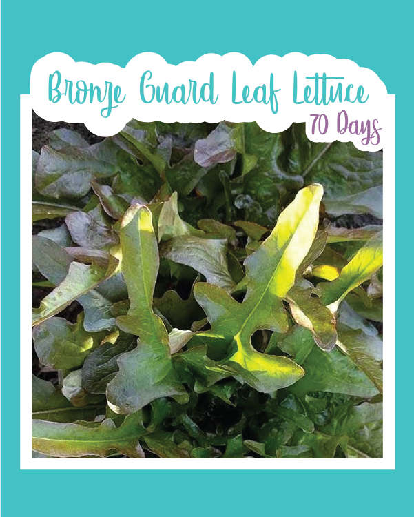 Bronze Guard Leaf Lettuce Microgreens