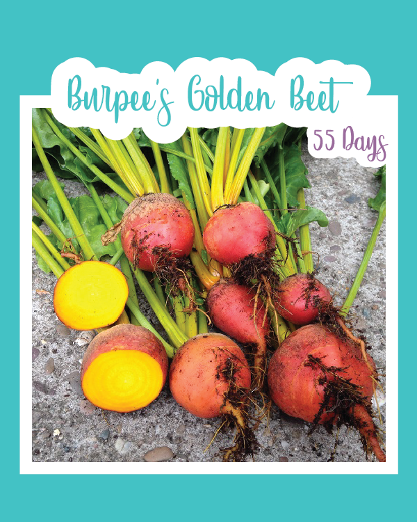 Burpee's Golden Beets Microgreens