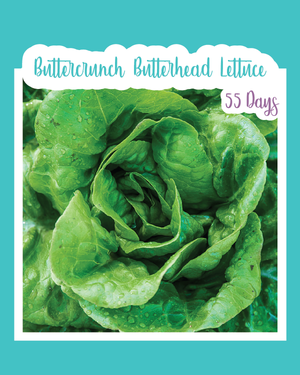 Buttercrunch Butterhead Lettuce Microgreens