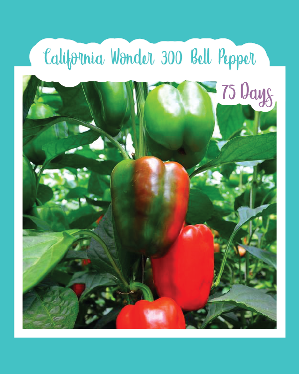 California Wonder 300 Bell Pepper