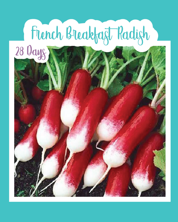 French Breakfast Radish Microgreens
