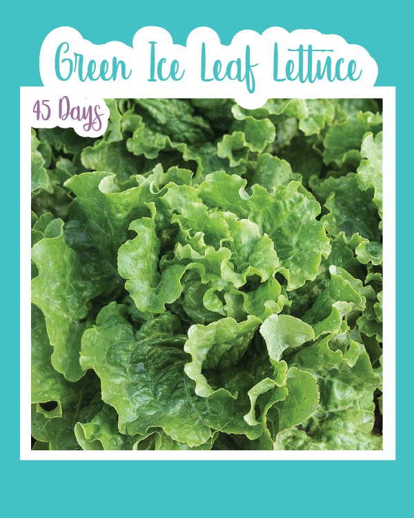 Green Ice Leaf Lettuce Microgreens