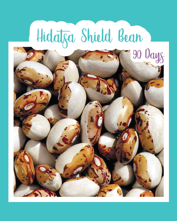 Hidatsa Shield Bean