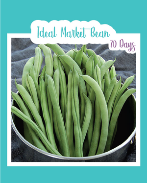 Ideal Market Bean