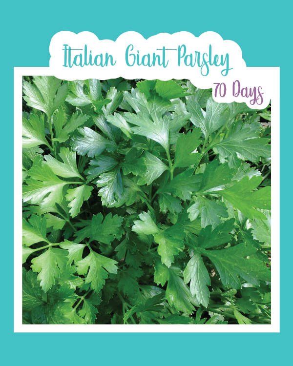 Italian Giant Parsley