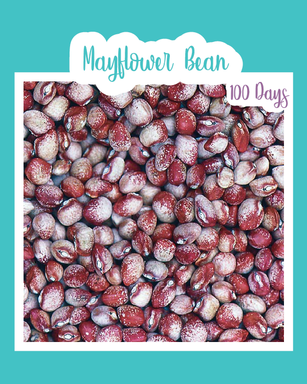 Mayflower Bean