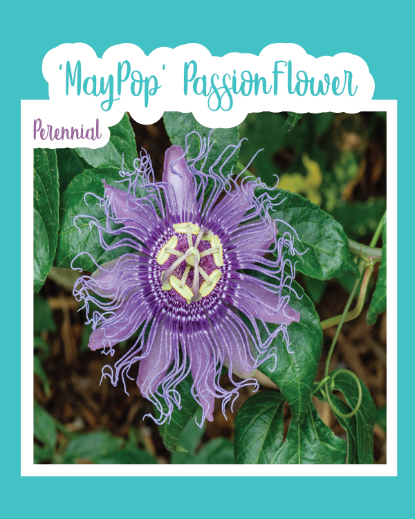 Maypop Passion Flower