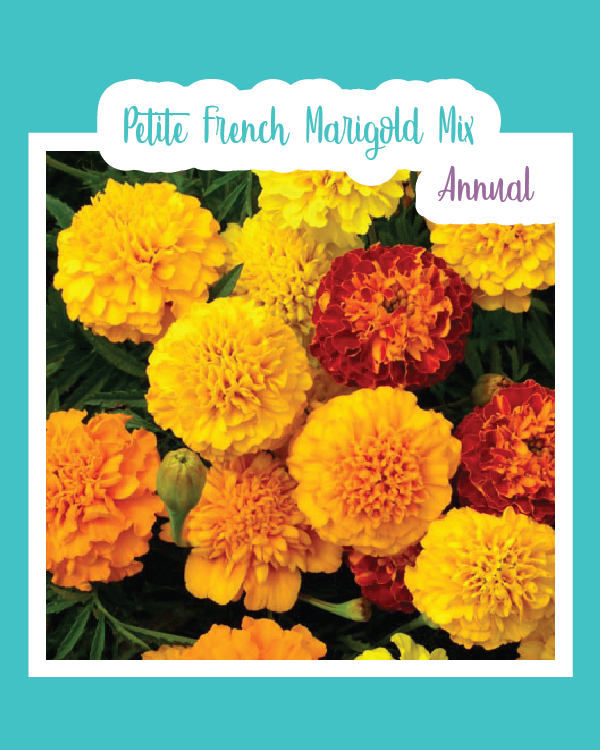 Petite French Marigold Mix