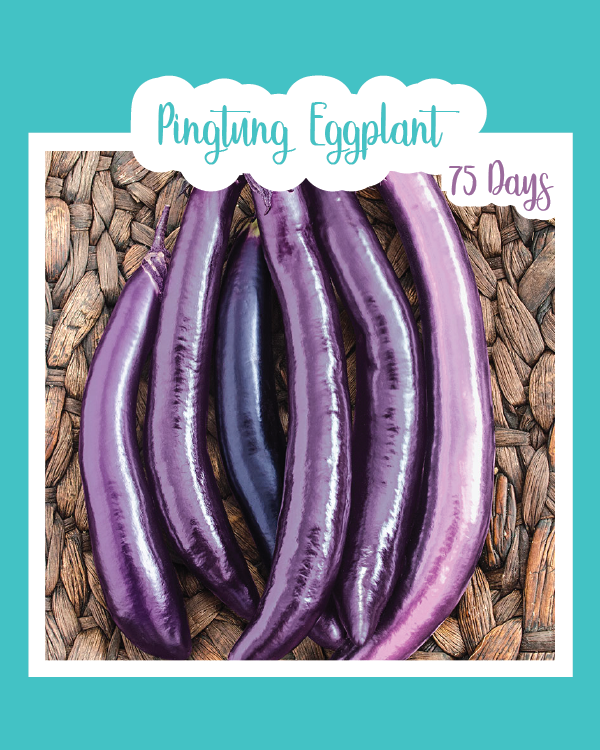 Pingtung Eggplant