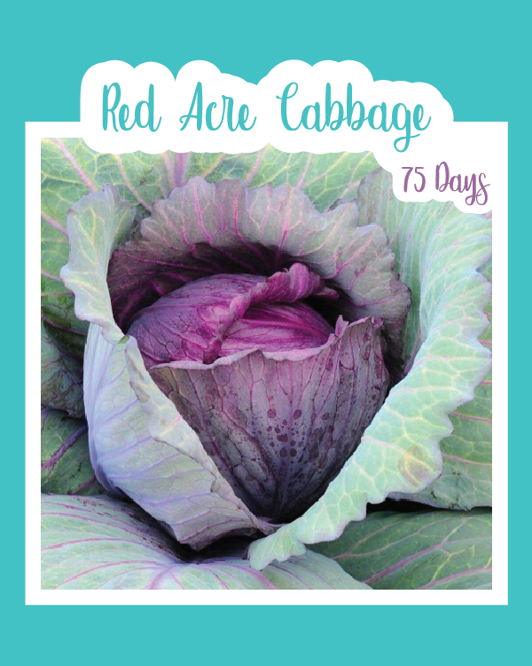 Red Acre Cabbage Microgreens