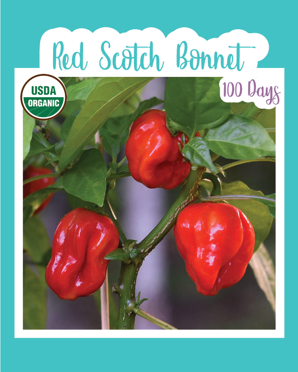 Red Scotch Bonnet Hot Pepper (Organic)